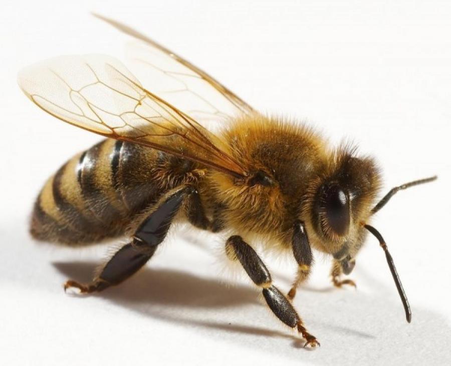 Бджола — Все про бджільництво | Сильна пасіка